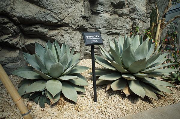 agave1